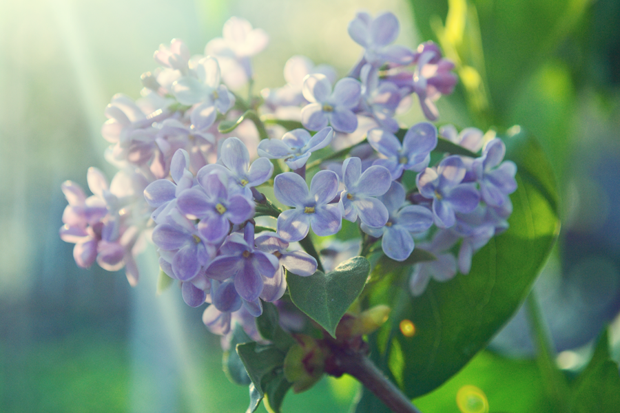 112822365_large_3303834_lilac_1.png